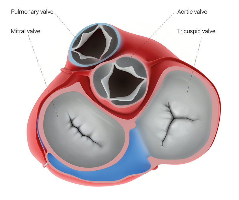 Valves of the healthy heart - medical illustration