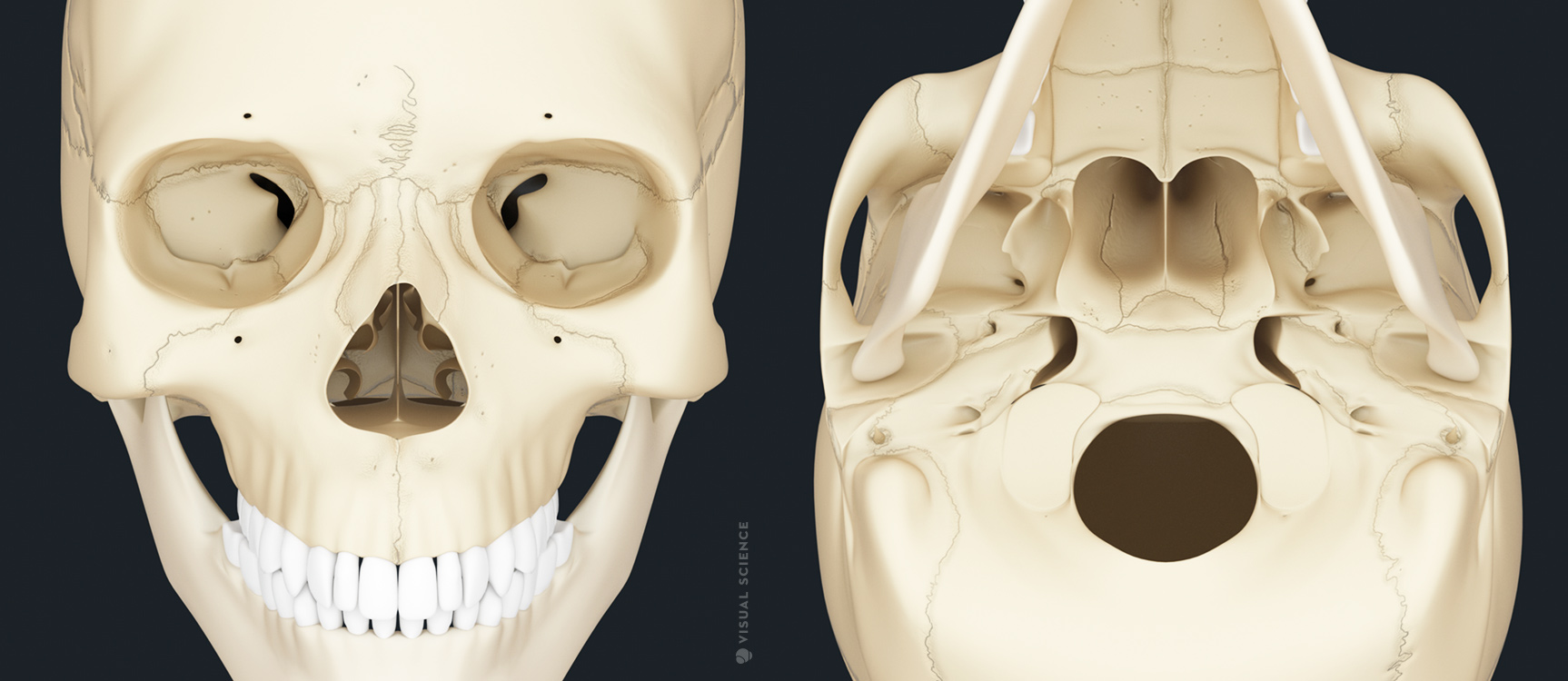 3D model of the human skull - medical illustration